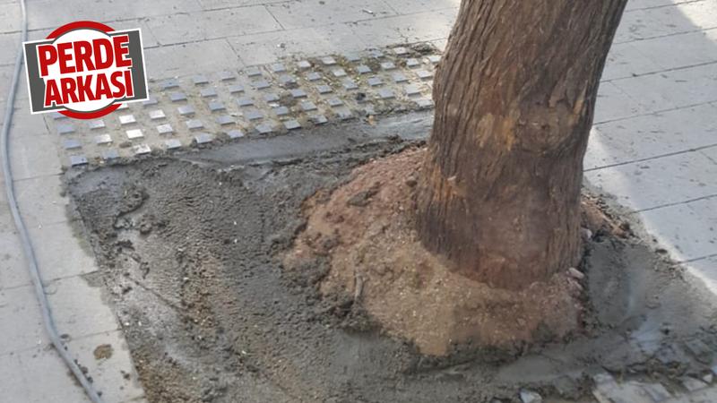 Ağaçların dibine beton döktüler