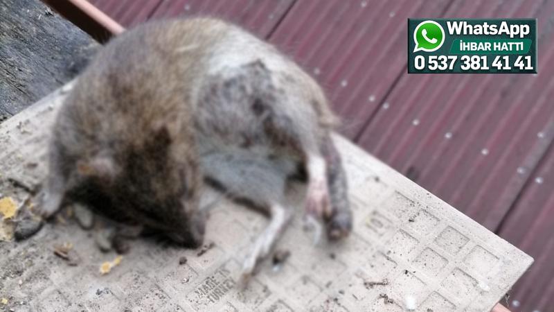 Başaran'daki fare sorununa İSU ekipleri el attı
