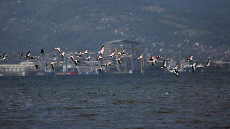 İzmit Körfezi'nde flamingolardan görsel şölen