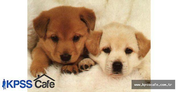 Prostat Kanseri Teşhisinde Köpekler Kullanılıyor