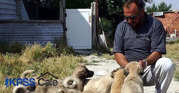 Kangal köpeği yavrusu alacaklara