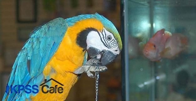 Hindistan'da papağan