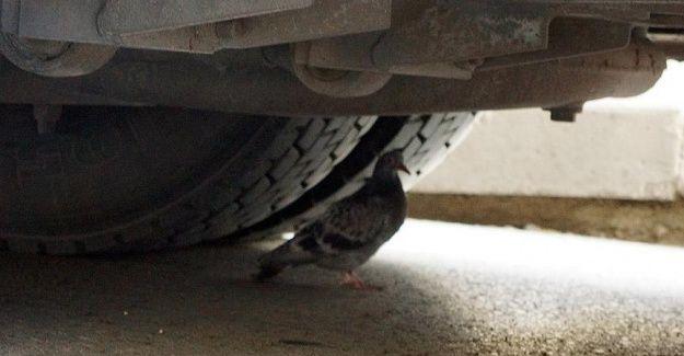 Sürücünün 'güvercin' hassasiyeti
