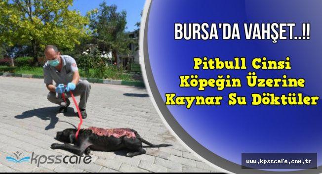 Pitbull Cinsi Köpeğin Üzerine Kaynar Su Döktüler!