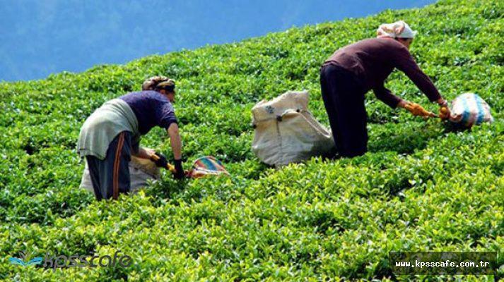 Çaykur Yaş Çay Bedeli Ödemeleri Başladı