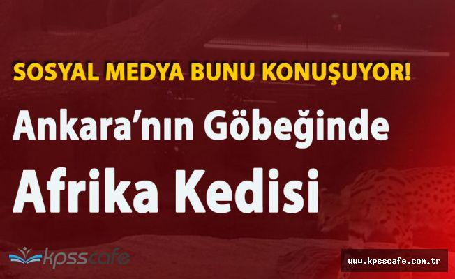 Ankara'nın Göbeğinde Afrika Kedisi ve Nil Timsahı