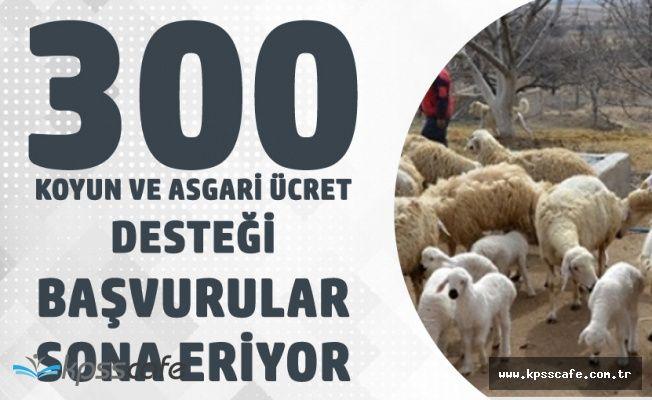 Devletten 300 Koyun ve Asgari Ücret Desteği için Başvurular Sona Eriyor