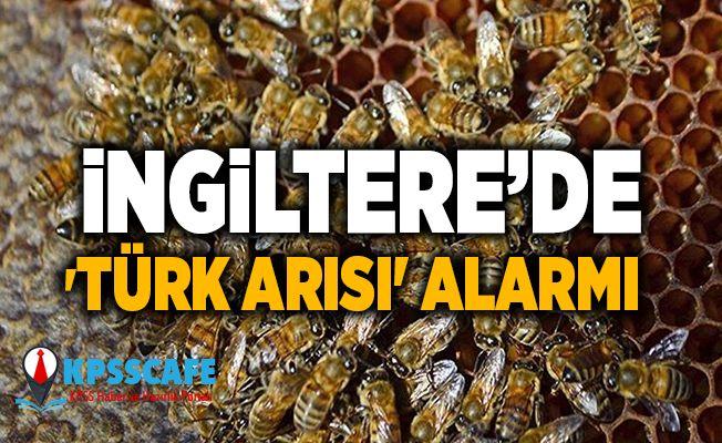 İngiltere'de 'Türk arısı' alarmı