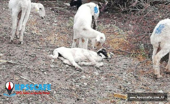Koyunlar vebalı çıktı: 7 mahalle karantinaya alındı