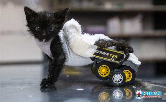 Arka bacakları tutmayan kediye oyuncak kamyondan yürüteç yapıldı