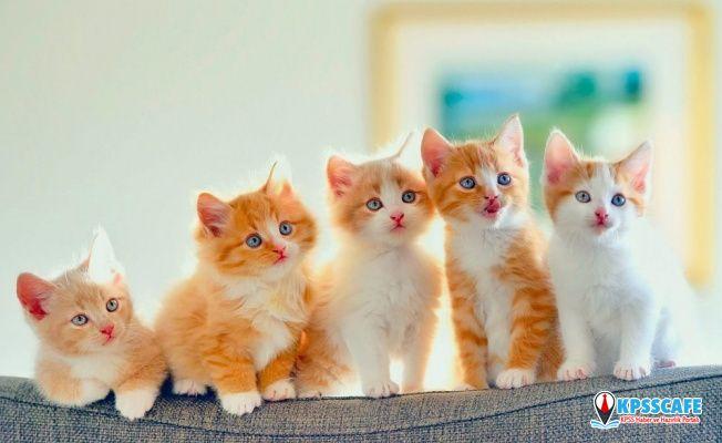 Kediler Gerçekten 9 Canlı mıdır?