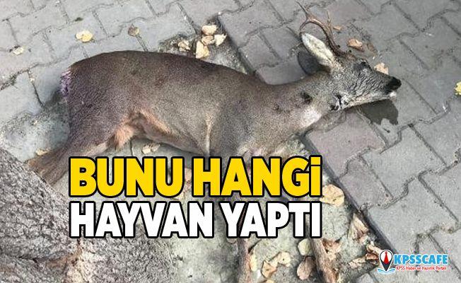 Avlanması yasak olan karacayı öldürdüler!