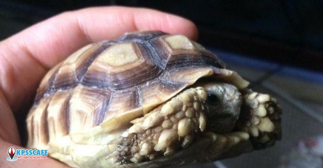 Timsah Yiyen Kaplumbağalar Koruma Altında