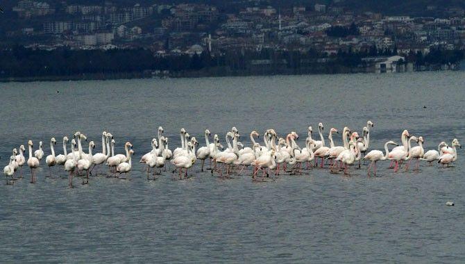 İzmit Körfezi, flamingoların uğrak yeri oldu