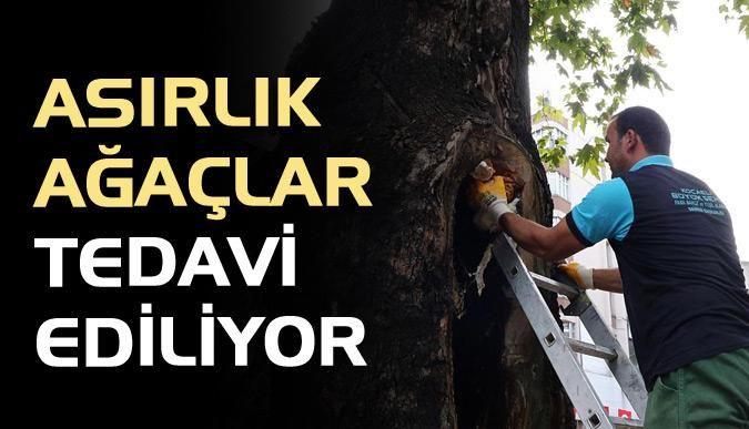 Asırlık ağaçlar tedavi ediliyor