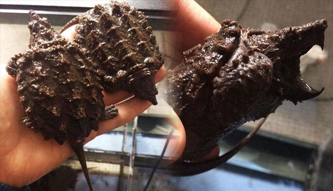 Timsah yiyen kaplumbağalara el konuldu