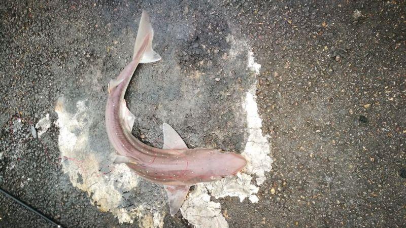 Balıkçı oltasına camgöz köpekbalığı takıldı