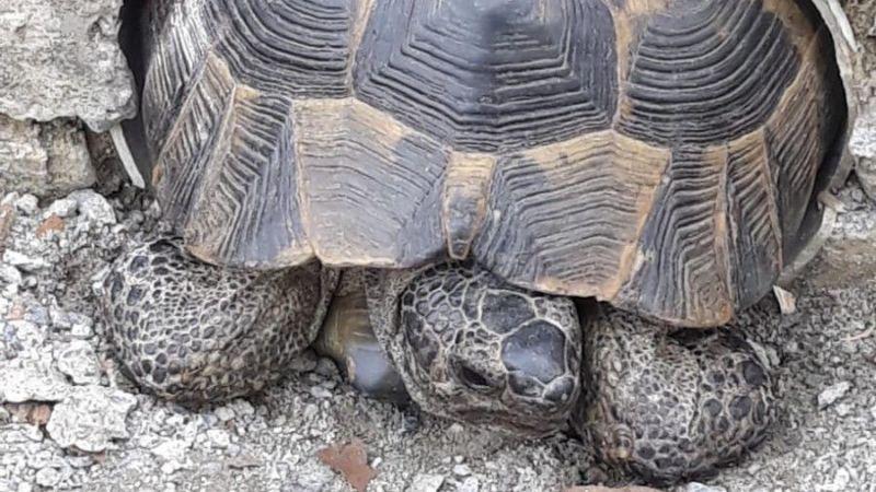 Kaplumbağaya zarar gelmesin diye yoğun çaba sarf ettiler
