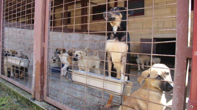 Kötü şartlar altında bakılan 97 köpek, tedavi altına alındı
