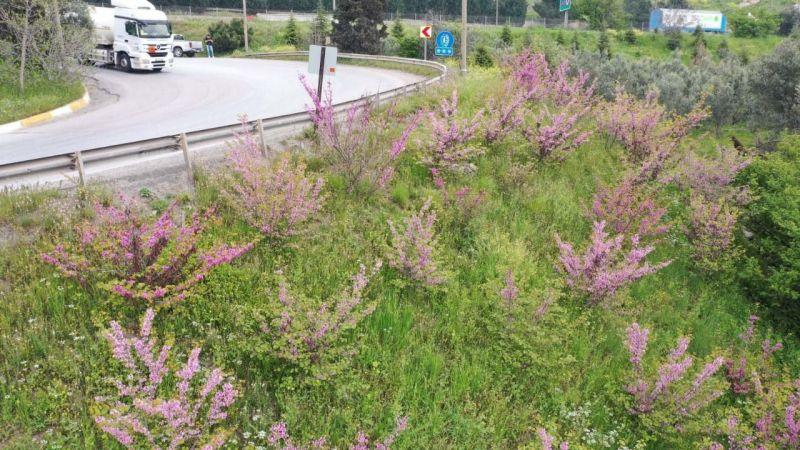10 yıl önce dikilen Erguvan ağaçları çiçek açtı