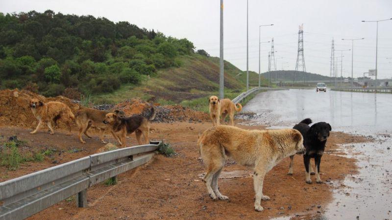 İstanbul'un köpeklerini bırakıp gidiyorlar