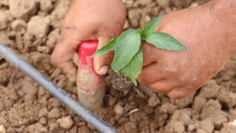 İzmitli çiftçiye %100 hibe desteği: 144 bin 500 fide dağıtılacak