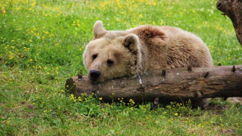Boz ayıları hobi amaçlı öldürüp, kürkünü ve yağını kullanıyorlar