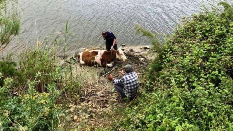 Nehre düşen ineği itfaiye kurtardı