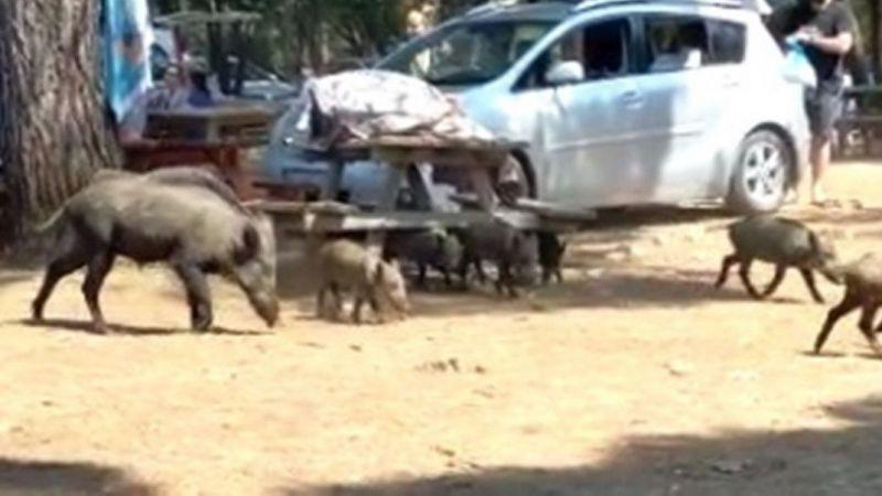 Domuzlar tatilcilerin arasında dolaşmaya başladı