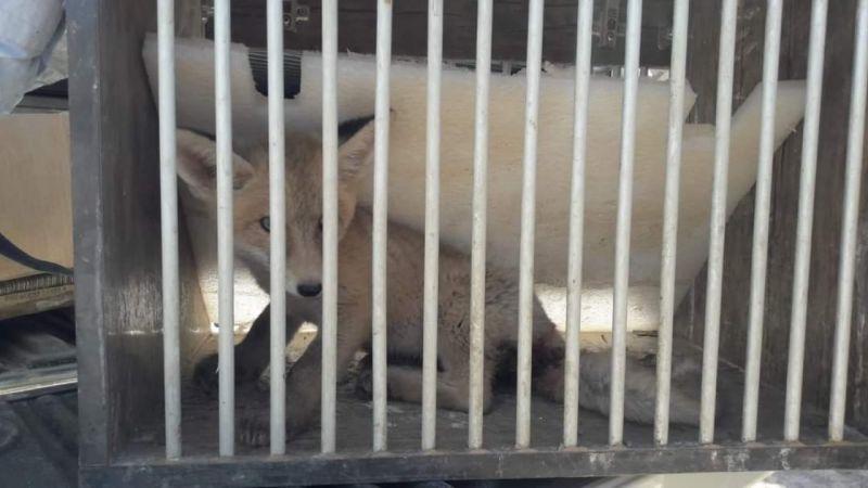 Van'da yaralı yavru tilki tedavi altına alındı