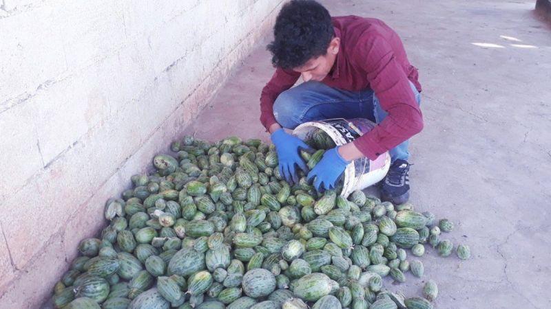 Şanlıurfa'da yetiştirilen Şelengo meyvesi tescillendi