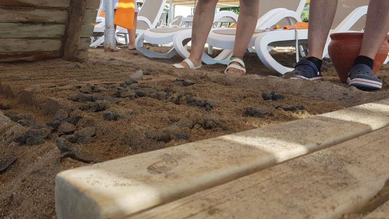 Antalya'da onlarca yavru caretta, sahildeki yürüme yolu altında telef oldu