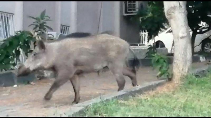 gunduz-vakti-domuz