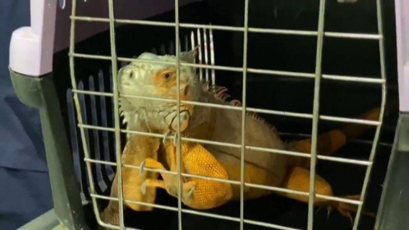 Üsküdar'da İguana bulundu