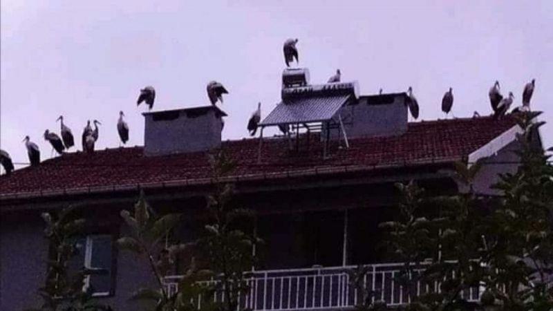 Göç eden leylekler çatılarda mola verdi