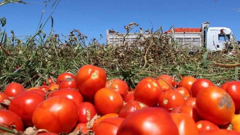 Manisa'da domatesler tarlada kaldı... Üreticiler perişan