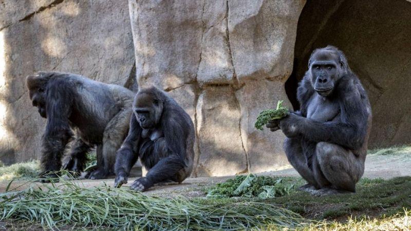 Korona virüs ilk kez gorillerde tespit edildi | Son Dakika Haber