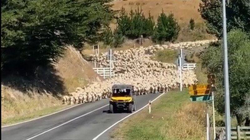 Yeni Zelanda'da 3 bin kuzu köprüyü trafiğe kapattı | Son Dakika Haber