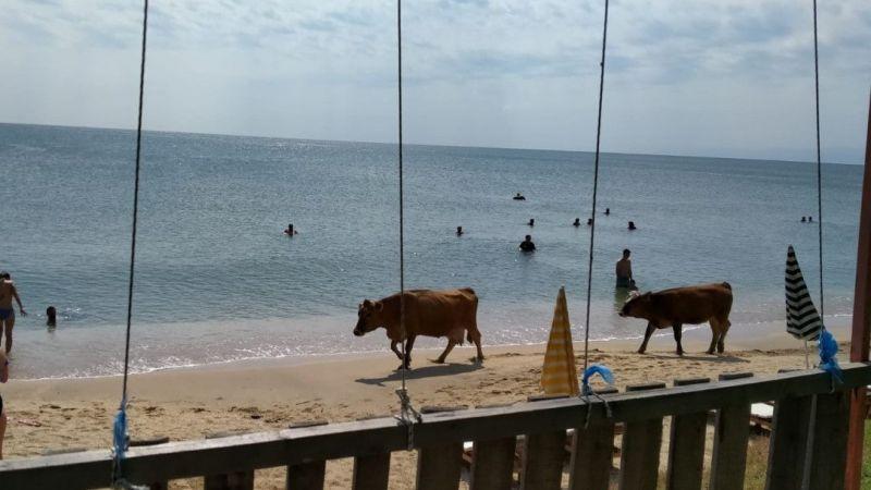 Plajda gezen inekler gülümsetti  Son Dakika