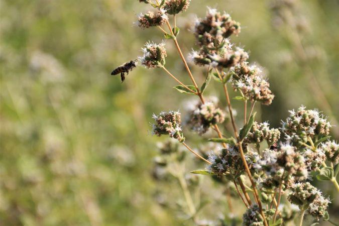 Bu bitkiler sayesinde bal üretimi iki katına çıkıyor | Son Dakika