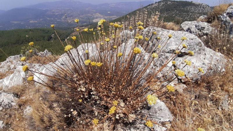 Dünyada 11 adet kalan 'Aydın Ölmez Çiçeği' korunmayı bekliyor | Son Dakika