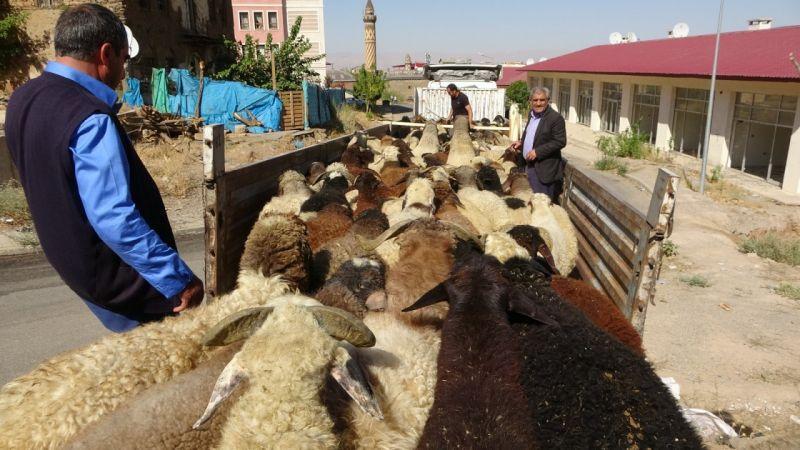 Muş'tan büyük şehirlere kuzu sevkiyatı | Son Dakika
