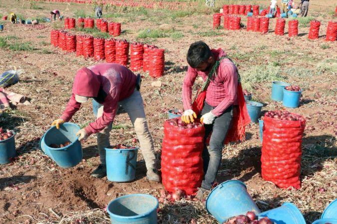 Soğan hasadı başladı, tarlada soğan 80 kuruş   Son Dakika