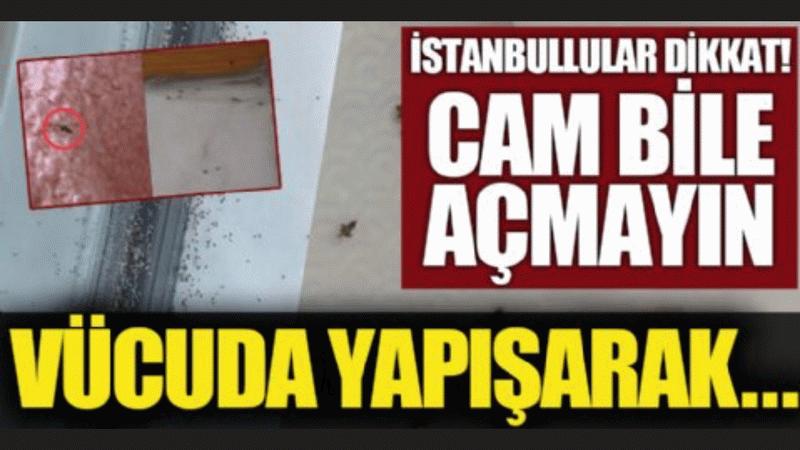 İstanbul'u resmen istila etti! İnsan vücuduna ve bulduğu her yüzeye yapışıyor!