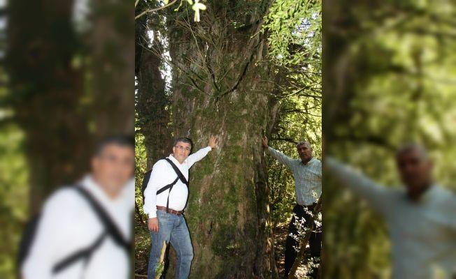 Andırın'da 28 asırlık ağaç korumaya alınıyor