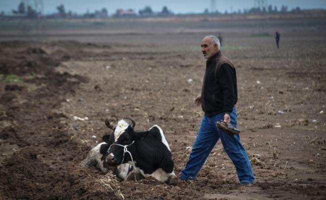 Çalamadıkları inekleri yaralamışlar