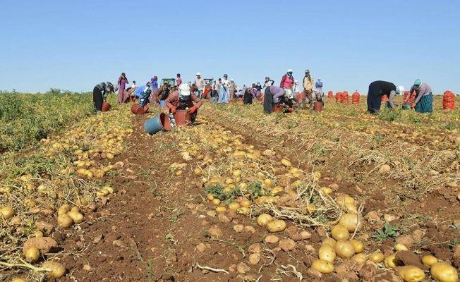 Kahramanmaraş dahil 25 ilde patates ekimi yasaklandı!