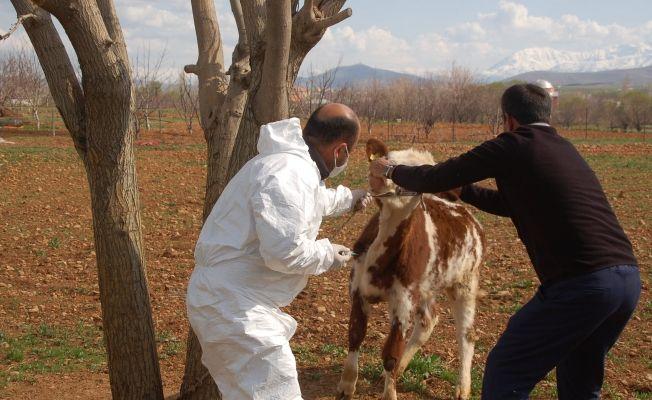 Afşin'de bir mahalle şarbon hastalığı şüphesi ile karantinaya alındı