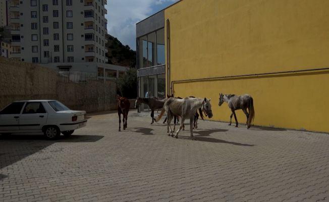 Firar eden atlar güçlükle yakalandı
