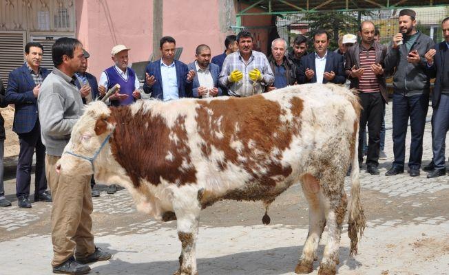 """Elbistan'da çiftçiler, yağışların bol olması nedeniyle """"şükür kurbanı"""" kesti."""